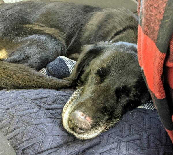 Silver Linings Rescue - Quila napping in car